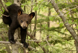 Black bear cub... just hanging out...