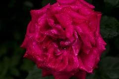 IMG_4817 (Lightcatcher66) Tags: rosen rosa königinenderblumen lightcatcher66