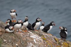 A Circus of Puffins... (Allan James Fisher) Tags: puffins wales skomer island clown circus wildlife nature nikon