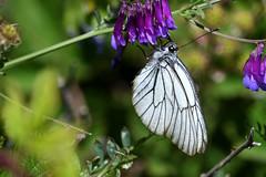 Black-veined White Aporia crataegi Samos Greece 1 (JohnMannPhoto) Tags: blackveined white aporia crataegi samos greece butterfly