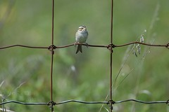 Clay-colored Sparrow - Spizella pallida (jessica.rohrbacher) Tags: passerellidae sparrow claycolored spizella pallidae spring bird avian calgary alberta park