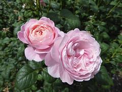 Rose Bush (Gilder Kate) Tags: pink flower roses rose victoriapark hackney london bloom panasoniclumixdmctz70 panasoniclumix panasonic lumix dmctz70 tz70