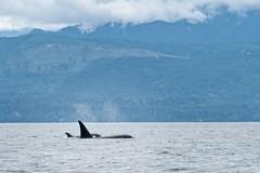 Killer Whale (Orcinus orca) pod offshore near Victoria, Vancouver Island (www.clineriverphotography.com) Tags: 2018 victoria flora vancouverisland killerwhale whale canada fauna britishcolumbia location orcinusorca