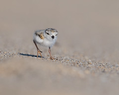 Piping Plover Peep (Brian_Harris_Photography) Tags: piping plover babies baby peep beach sunlight sunshine sand marsh wildlife white bird brown summer shorebird sun portrait tidal tide water florida morning vacation coast usa pond