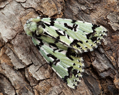 Scarce Merveille du Jour (Moma alpium) ♂. (od0man) Tags: scarcemerveilledujour momaalpium noctuidae acronictinae lepidoptera insect moth rdbspecies macro farley wiltshire uk
