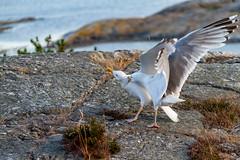 Marstrand - Sverige 2013 (karlheinz klingbeil) Tags: möwe sverige ocean northsea vogel schweden water meer sweden bird seagull wasser nordsee marstrand västragötalandslän se
