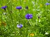 Goose Green Meadow (Adam Swaine) Tags: englishmeadows meadows londonmeadows cornflowers england english flora flowers flower eastdulwich summer naturelovers nature canon beautiful uk goosegreen londonparks london seasons macro purplegreen centaureacyanus