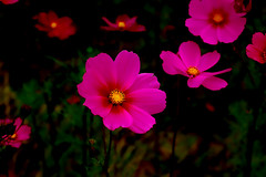 IMGP0146 Cosmos Fieald (tsuping.liu) Tags: outdoor organicpatttern moment atmospher abigfave amazing blackbackground bright blooming closeup depthoffield depth darkbackground ecology ecotour excellentflower flower feeling flowers flowersinwild flowerotica golden garden grassland grouping hill image imagination its itsallaboutflowers skylight like mood macro memory nature natureselegantshots naturesfinest natures nationalpark nationalgeographic perspective photoborder plant pattern passion petal painting purity photos park red redblack recalling texture trekking touching theperfectphotographer visioionoutdoor text zooming zoomin