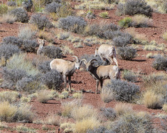 Canyonlands Shafer Trail Desert Bighorn 02-24-2018 (Jerry's Wild Life) Tags: bighorn bighornsheep brycecanyon canyonlands canyonlandsdesertbighorn canyonlandsdesertbighornsheep canyonlandsnationalpark desertbighorn desertbighornsheep islandinthesky potashroad potashroadcanyonlands shafer shafertrail trail utah