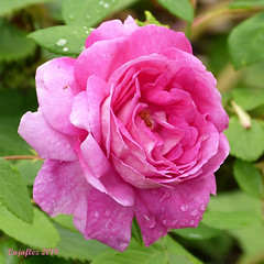 Looking forward to wet roses. We hardly had rain for 3 month now. (Cajaflez) Tags: water wet fleur blume flower bloem pink roze rose roos coth5