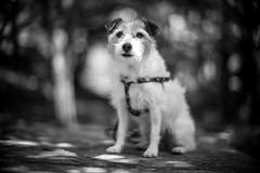 Dappled Sunlight (moaan) Tags: hyogo japan jp kobe dog jackrussellterrier kinoko sun sunlight forest woods outdoors dof depthoffield focusonforeground selectivefocus bokeh bokehphotography bw blackandwhitephotography utata 2018 mt portrait dogportrait