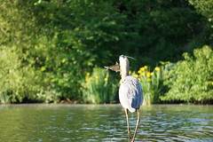 The Great Blue Catch (Ed McKaveney) Tags: alleghenycounty bird environment fishing greatblue heron northpark pennsylvania