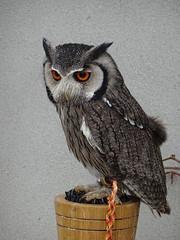 DSC07621 (guyfogwill) Tags: 2018 birds brandonsbirthday devon gbr guyfogwill may northernwhitefacedowl owls paignton unitedkingdom paigntontorquay