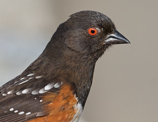 Spotted towhee, female
