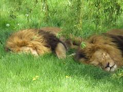 IMG_0140 (duncansmith50) Tags: yorkshirewildlifepark lions polar bears black rhino tigers giraffes doncaster