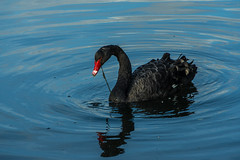 Le cygne noir - The black swan (Giloustrat) Tags: swan black pentax k3 drop bec rouge pentaxart