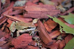Tiny Tree Frog (qorp38) Tags: frog treefrog macro red mulch redwood