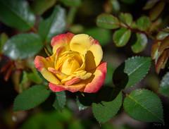 Tipped in Red (Jocey K) Tags: newzealand nikond750 christchurch rose miniatureroses