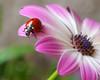 Ladybird on Daisybush (Darea62) Tags: ladybird ladybug insect animal wildlife petals flower daisy daisybush nature pollen
