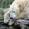 Polar bear - Ijsbeer in Blijdorp (Cajaflez) Tags: animal dier ijsbeer polarbear zoo blijdorp diergaardeblijdorp rotterdam coth5
