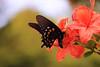 Feeding Time (Waterfall Guy) Tags: azalea butterfly cherohala skyway north carolina