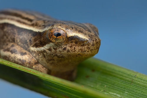 Frog - Gorongosa National Park, Mozambique