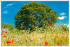Herbes folles (Pascale_seg) Tags: landscape paysage country countryscape champs campagne nature earth terre printemps spring moselle lorraine grandest france nikon fleurs flowers herbe grass ciel sky clouds nuages arbre tree vert bleu green blue coquelicot poppy