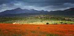 Flower season in Namaqualand, South Africa. (Sumarie Slabber) Tags: namaquanationalpark namaqualanddaizies sumarieslabber southafrica nature northerncape flowers orange mountains garies botanical rainclouds wildflowers landscape field
