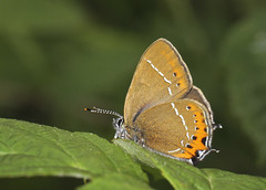 Butterfly - Black Hairstreak (Prank F) Tags: glapthorncowpastures wildlifetrust northantsuk wildlife nature insect macro closeup butterfly hairstreak black