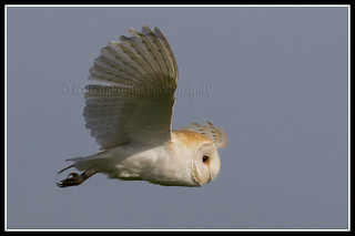 IMG_0496 Barn Owl