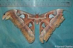 Attacus atlas (Atlas Moth) (GeeC) Tags: altasmoth animalia arthropoda attacus attacusatlas bombycoidea butterfliesmoths cambodia giantsilkwormmoths insecta kohkongprovince lepidoptera nature saturniidae tatai