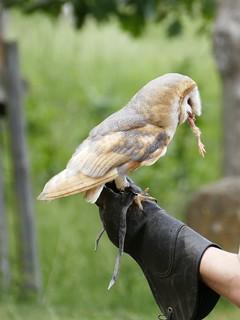 Greifvogel im Wildpark Edersee