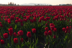 Skagit Valley Tulip Festival 2018 (Aneonrib) Tags: skagit valley tulip festival 2018 tulips flowers mount vernon wa sun april roozengaarde annual spring northwest county washington state landscape field flowrbed plant outdoor panasonic lumix red backlight backlit