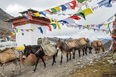 Mules and horses at Sinche La pass - Gasa District - Snowman Trek - Bhutan (PascalBo) Tags: nikon d500 asie asia southasia asiedusud drukyul drukgyalkhap bhutan bhoutan འབྲུག་ཡུལ། འབྲུག་རྒྱལ་ཁབ་ snowman trek trekking hike hiking lunana gasa himalaya himalayas jigmedorjinationalpark montagne mountain trail sentier buddhism bouddhisme religion horse mule outdoor outdoors pascalboegli