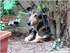 I know I'm dusty! (MaxUndFriedel) Tags: garden dog hedge hole dust rescueddog