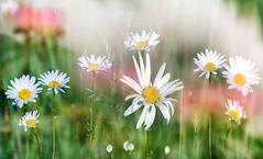 Jastrun (augustynbatko) Tags: jastrun flower flowers nature macro summer bokeh blur meadow farmland plant grass