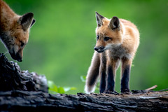 Red Foxes (coleenr2005) Tags: fox redfox kit animal wildlife nature mammal