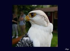 Gerfalke - Gyrfalcon (Rolf Piepenbring) Tags: falcorusticolus gyrfalcon giervalk raubvogel falke