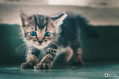 // I hope you will be okay // (tomsweisiong) Tags: cat flickr yahoo color colour photograpghy photography photo picture image images imaging animal experiment kualalumpur kuala malaysia 2018 canon candid green ind indoors indoor daylight day cute eye