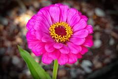 Zinnia (Uhlenhorst) Tags: 2018 australia australien plants pflanzen flowers blumen blossoms blüten travel reisen alittlebeauty coth coth5