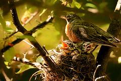 Terrible Twos (Goromo) Tags: americanrobin robin bird nestlings babybirds mother nest rambunctious parenting