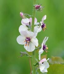 This Moth Mullein caught my eye (ctberney) Tags: mothmullein verbascumblattaria wildflower purple orange white nature