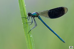 Agrion (JG Photographies) Tags: europe france french auvergne allier macro agrion nature jgphotographies canon7dmarkii
