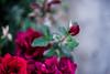 ILCE-7M2-00514-20180525-1849 // Vivitar VMC Auto 55mm 1:1.4 (Tomioka) (Otattemita) Tags: 55mmf14 florafauna vivitarcosina vivitartomioka vivitarvmc vivitarvmcauto55mmf14 fauna flora flower nature plant wildlife vivitarvmcauto55mm114tomioka sony sonyilce7m2 ilce7m2 55mm cnaturalbnatural ota