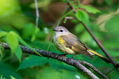Une jolie demoiselle qui pose! (anniebevilacqua) Tags: oiseau bird paruline parulineflamboyante americanredstart setophagaruticilla jardinbotaniquedemontréal oiseaumigrateur