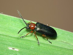 Oulema sp. (ruiamandrade) Tags: oulema chrysomelidae coleoptera beetle escaravelho insectos insects nature natureza