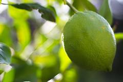 Green Lemon (GOFOT) Tags: greenlemon lemon zitrone fruit bokeh blur canon canoneos600d canonef50mmf18ii 50mm outdoor