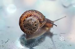 Rainy Day (Zara Calista) Tags: snail rain rainy day bokeh dof water spring california