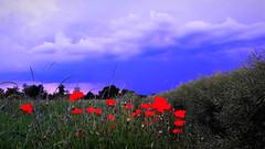 Pipacsos rét a viharfelhők alatt (Ják) (milankalman) Tags: red poppy storm weather summer