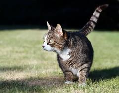 LUCKY (babsbaron ( Bella )) Tags: nature tiere animals katzen cats säugetiere mammals eos canon haustiere pets